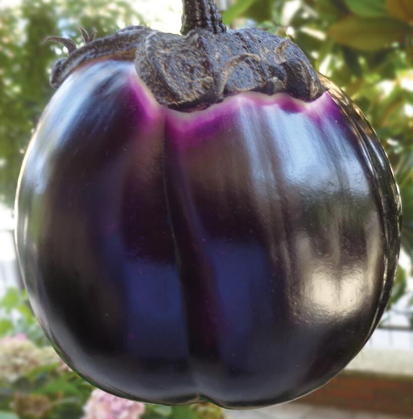 pianta melanzana violetta lunga innestata