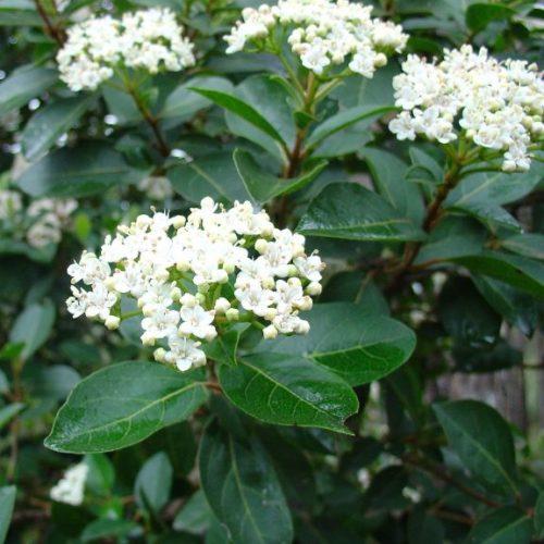 Viburnum-lucidum-con-fiori
