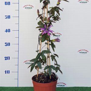Passiflora Violacea - vivaioconcadoro.com